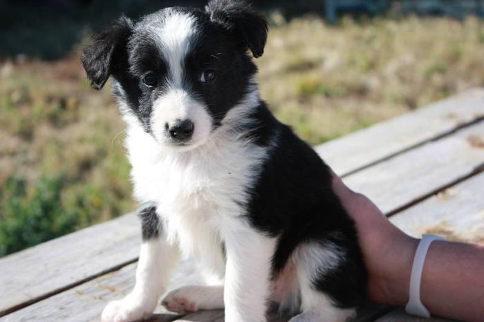 australian-shepherd-border-collie-blue-heeler-puppies_3024351.jpg