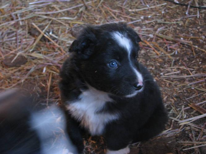 Free Download Border Collie Puppy For Sale Casey Female HD Wallpaper