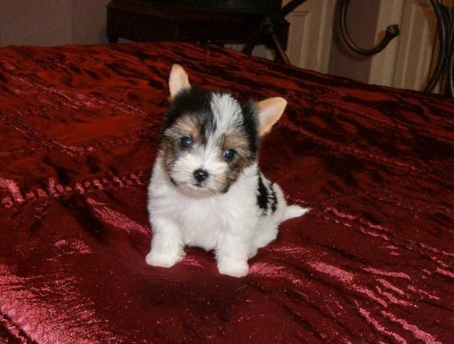 Registered teacup biewer yorkshire terrier in midland, ontariofor sale