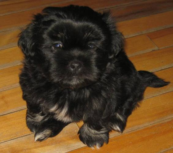 Lhasa Apso Shih Tzu/Pomeranian Mix Puppies for sale in Yarmouth, Nova ...