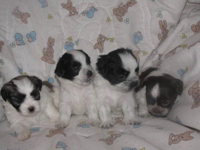 Bichon Shih Tzu Yorkie Maltese Puppies For Sale Calgary Alberta