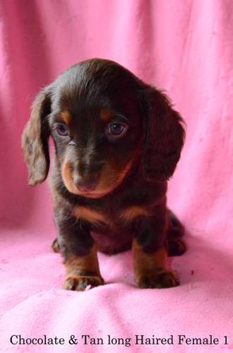 Dachshund Puppies For Sale Miniature Teacup