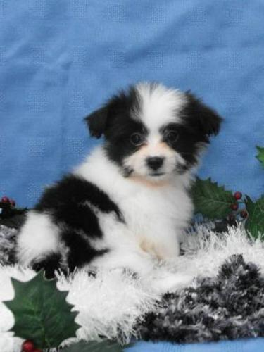 Shih Tzu x Pomeranian Puppies for sale in Carstairs, Alberta - Nice ...